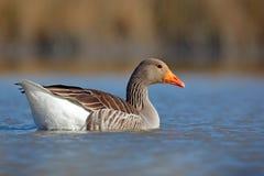 鸭子在水中 灰雁,分析服务公司分析服务公司,漂浮水表面上 鸟在水中 在湖的水禽 匈牙利 免版税库存图片