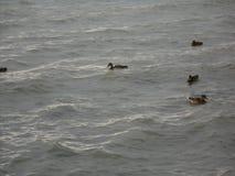 鸭子在水匈牙利人海 免版税库存照片