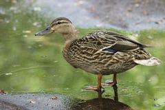鸭子在水坑,一只鸭子走 免版税库存图片