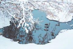 鸭子在水的冬天步行 免版税图库摄影