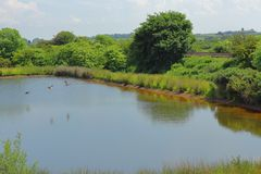 鸭子在池塘上飞行 免版税库存照片