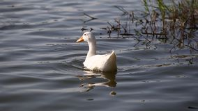鸭子在池塘游泳在公园 股票视频