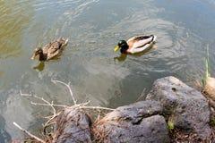 鸭子在池塘的夫妇游泳 库存照片