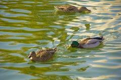 鸭子在池塘绿色自然游泳 免版税库存图片