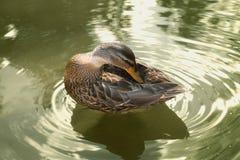 鸭子在池塘 免版税图库摄影