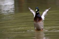 鸭子在池塘 库存图片