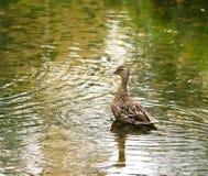 鸭子在池塘 免版税库存照片