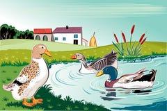 鸭子在池塘 免版税库存图片
