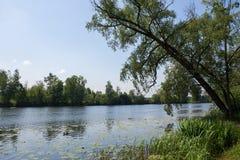 鸭子在河游泳在一个夏日 阿尔汉格尔斯克州村庄  俄国 库存图片