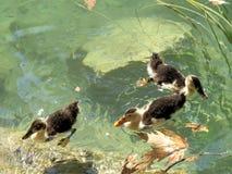鸭子在河 免版税库存照片