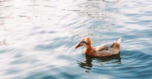 鸭子在湖游泳 免版税库存图片