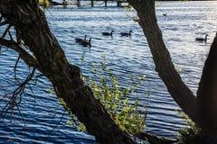 鸭子在湖现出轮廓 免版税库存照片