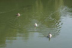鸭子在湖附近的公园 公园在城市巴统中心 库存照片