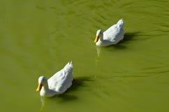 鸭子在湖 免版税图库摄影