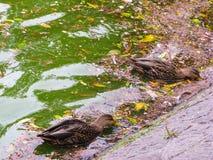 鸭子在湖 库存照片