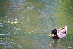 鸭子在湖 免版税库存照片