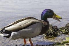 鸭子在瓦雷泽湖  免版税库存图片
