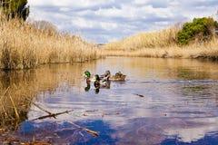 鸭子在盐水湖 免版税库存图片