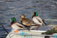 鸭子在船上, Glasson船坞,兰开夏郡 免版税库存照片