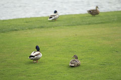 鸭子在草甸 免版税库存图片