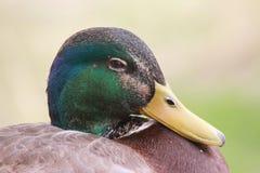 鸭子在菲尼斯动物园里 库存照片