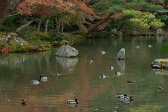 鸭子在金黄亭子(Kinkaku籍)附近的池塘Ky 库存图片