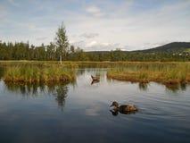 鸭子在镜子水中 图库摄影