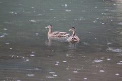 鸭子在雨中 免版税库存照片