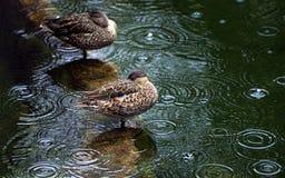 鸭子在雨中 免版税库存图片