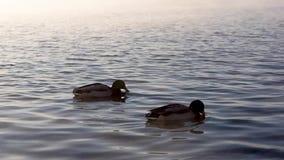 鸭子在雾的河游泳 股票视频
