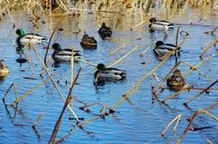 鸭子在水中在秋天或冬天 库存照片