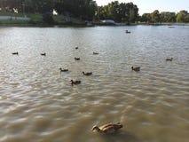 鸭子在水中 库存图片