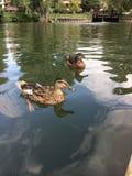 鸭子在水中 免版税库存图片