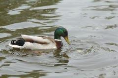 鸭子在水中 免版税图库摄影
