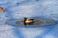 鸭子在冻冰中的湖游泳在冬天 免版税库存图片