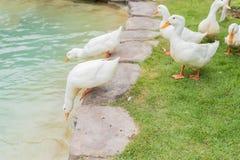 鸭子在水池游泳 免版税库存照片