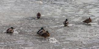 鸭子在冻湖 库存照片