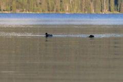 鸭子在Diamond湖 库存照片