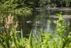 鸭子在Kew庭院里 库存图片