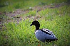 鸭子在paramatta公园 免版税库存图片
