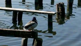 鸭子坐在湖的树 影视素材