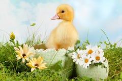 鸭子复活节偷看 免版税库存图片