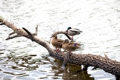 鸭子夫妇在树干站立 免版税库存照片