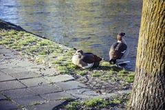 鸭子夫妇在砖城市路面,安装的狂放的自然的  库存图片