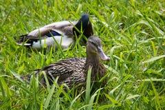 鸭子夫妇在草的 库存照片