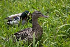 鸭子夫妇在草的 图库摄影
