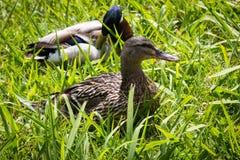 鸭子夫妇在草的 库存图片