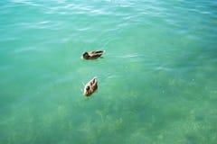 鸭子夫妇游泳在湖 免版税库存图片