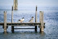 鸭子夫妇 图库摄影
