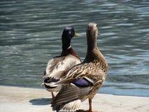 鸭子夫妇  免版税图库摄影